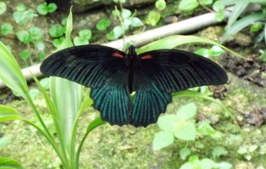 black and blue green butterfly