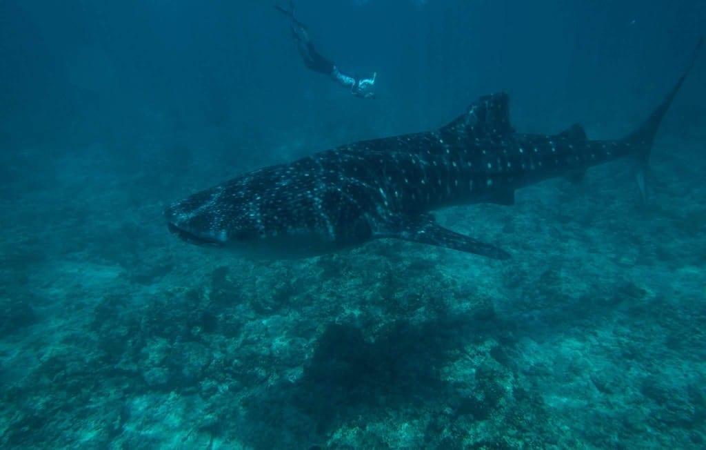 whale shark Maldives | Dhigurah | Maldives Whale Shark Research Programme | MWSRP volunteer programme | Teja on the Horizon