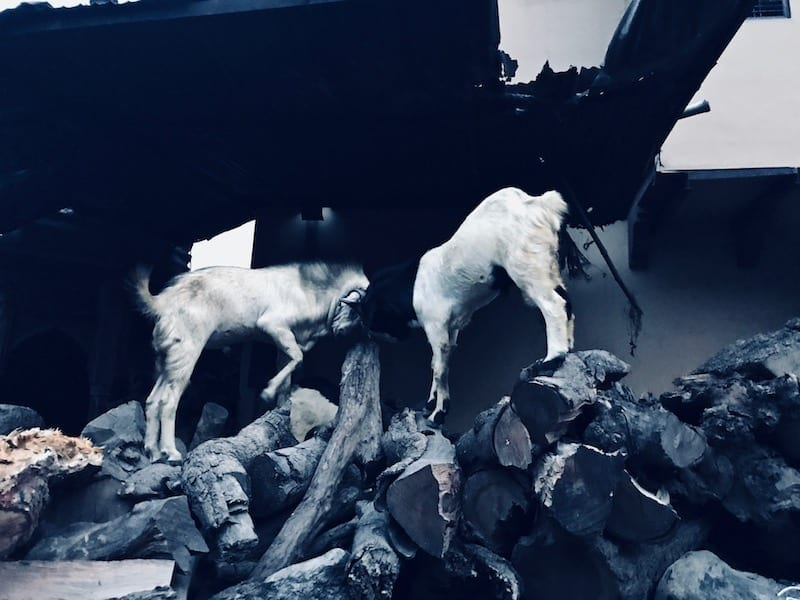 Goats butting heads on cremation firewood stores near Manikarnika Ghat, Varanasi, India   Controversial thoughts